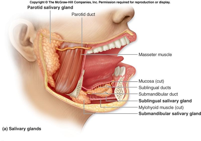Salivary amylase gene variation and glycemic response to starch ...